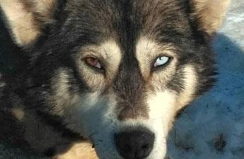 Собака-участник Берингии